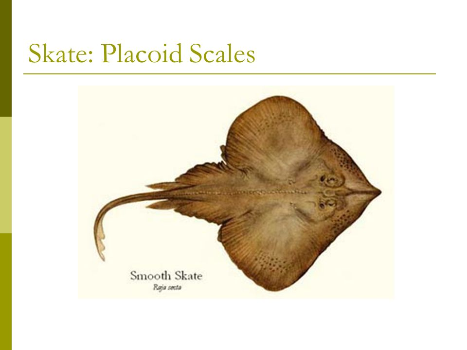 Shark: Placoid Scales