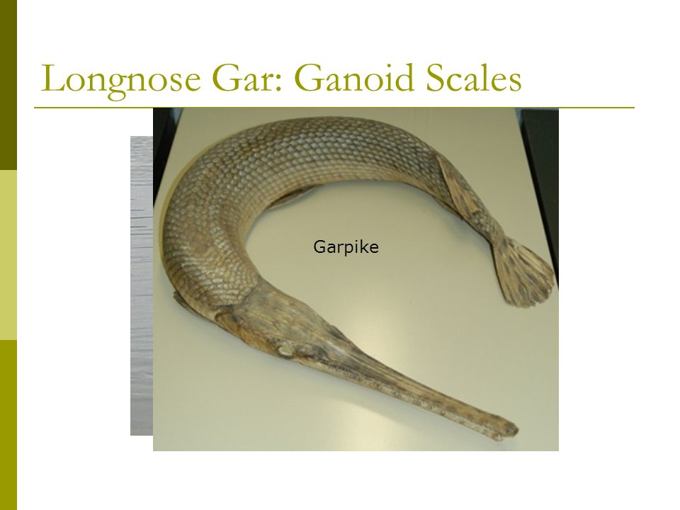 4 Types of Scales 2. Ganoid: rhombus shape, connected by peg and socket joints Do not grow with fish, new ones are added Examples: Gar, Paddlefish, St