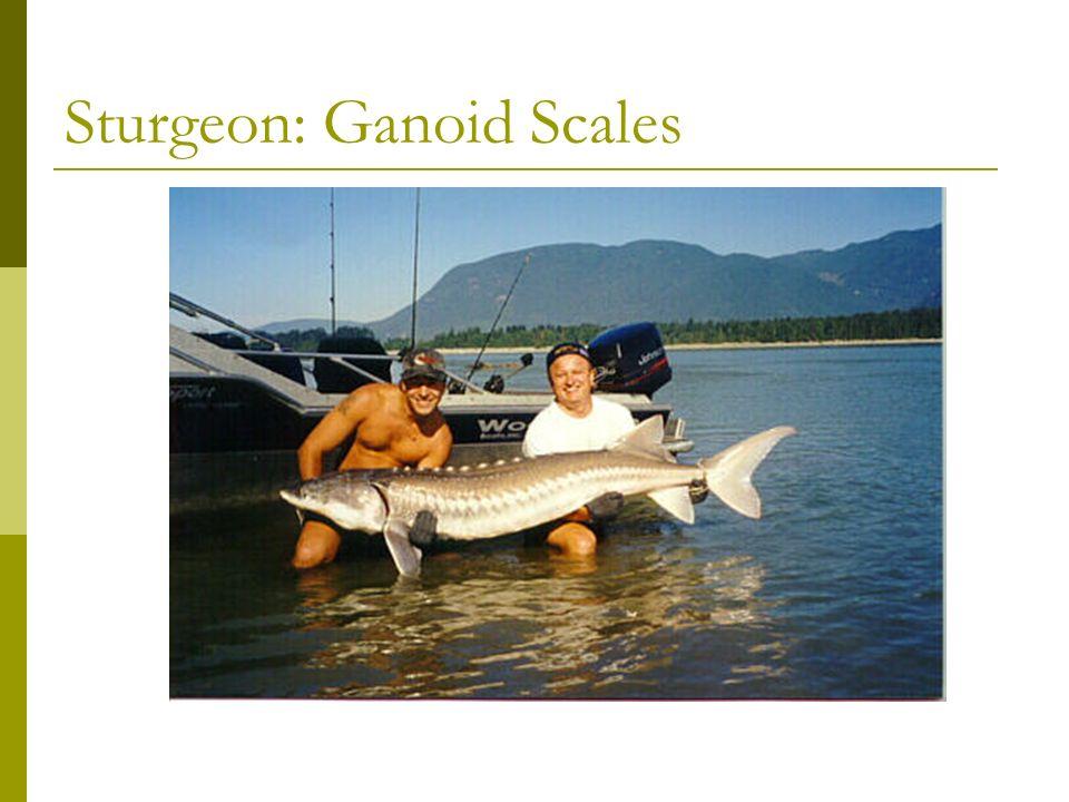 Longnose Gar: Ganoid Scales Garpike