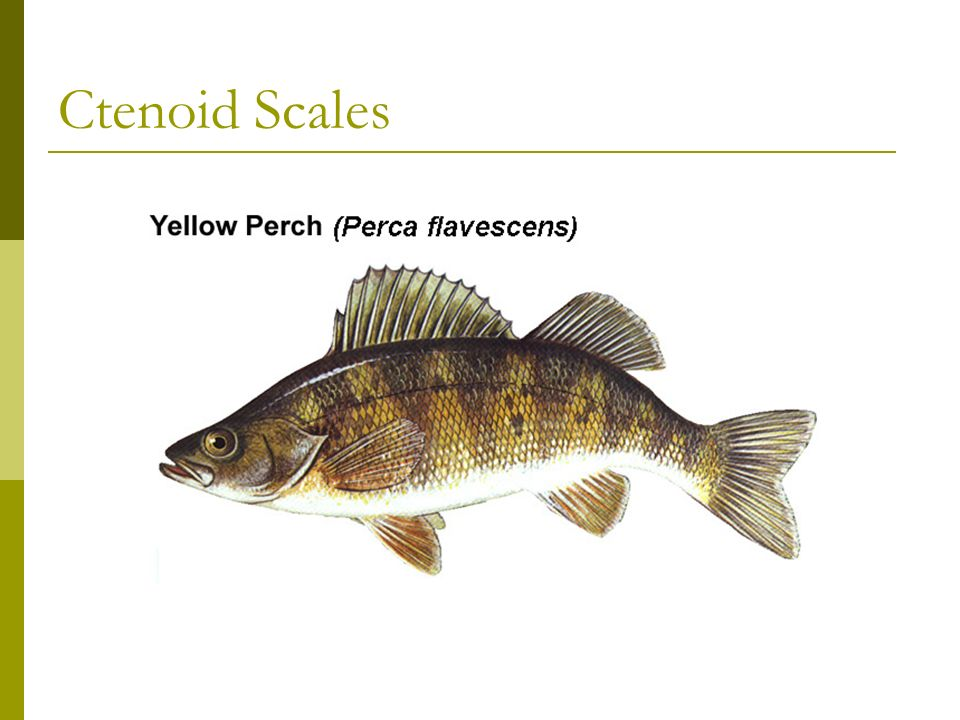 4 Types of Scales 3. Ctenoid: overlapping, allow great maneuverability as fish bends Grows with fish, found in spiny rayed fish