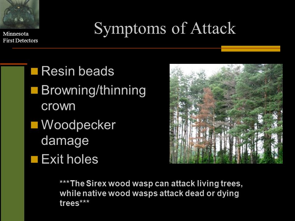 Minnesota First Detectors Symptoms of Attack Resin beads Browning/thinning crown Woodpecker damage Exit holes ***The Sirex wood wasp can attack living