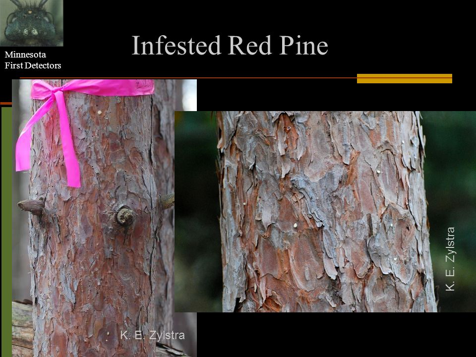 Minnesota First Detectors Infested Red Pine K. E. Zylstra