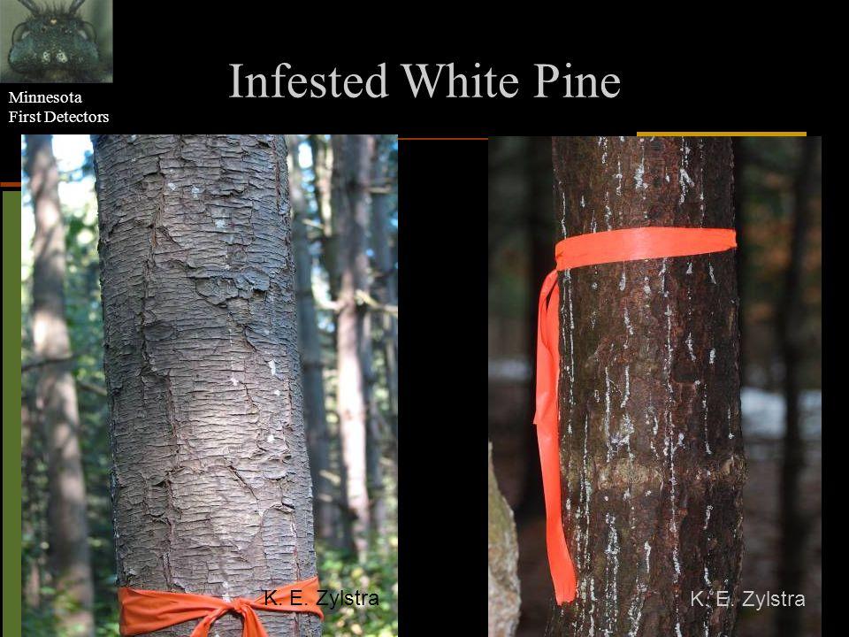 Minnesota First Detectors Infested White Pine K. E. Zylstra