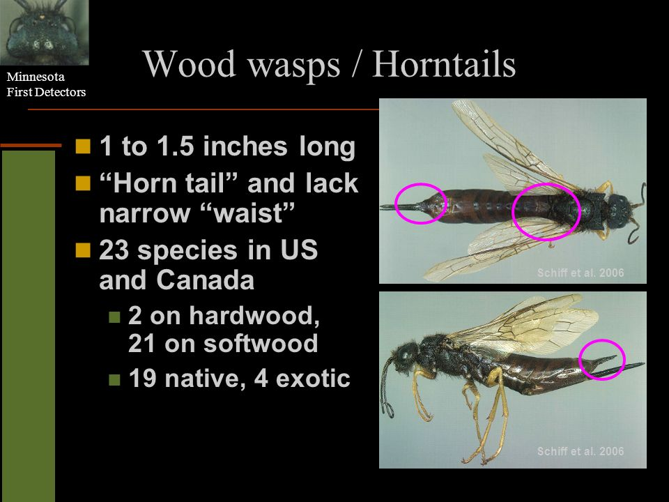 Minnesota First Detectors Wood wasps / Horntails 1 to 1.5 inches long Horn tail and lack narrow waist 23 species in US and Canada 2 on hardwood, 21 on