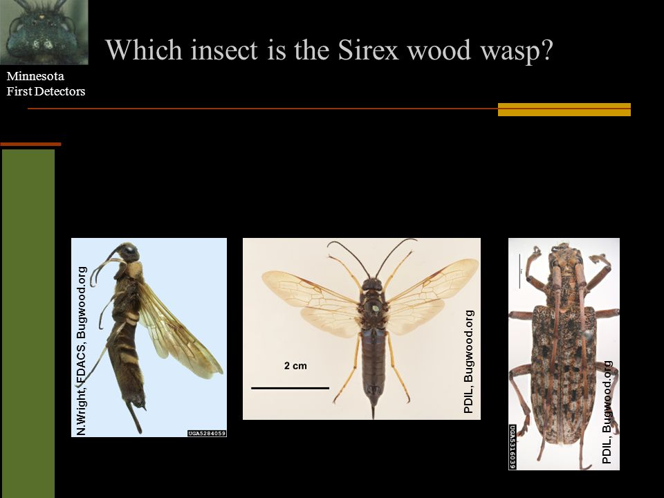 Minnesota First Detectors Which insect is the Sirex wood wasp? N.Wright, FDACS, Bugwood.org PDIL, Bugwood.org