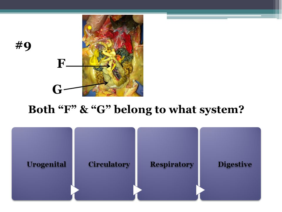 Urogenital Circulatory RespiratoryDigestive Both F & G belong to what system? #9 F G