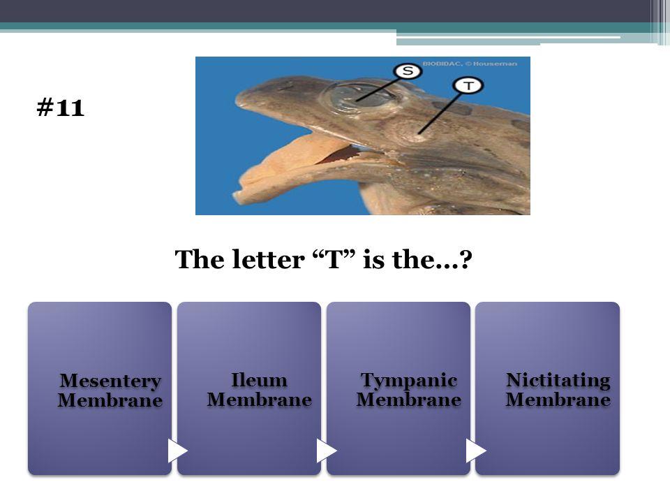 Mesentery Membrane Ileum Membrane Tympanic Membrane Nictitating Membrane The letter T is the…? #11
