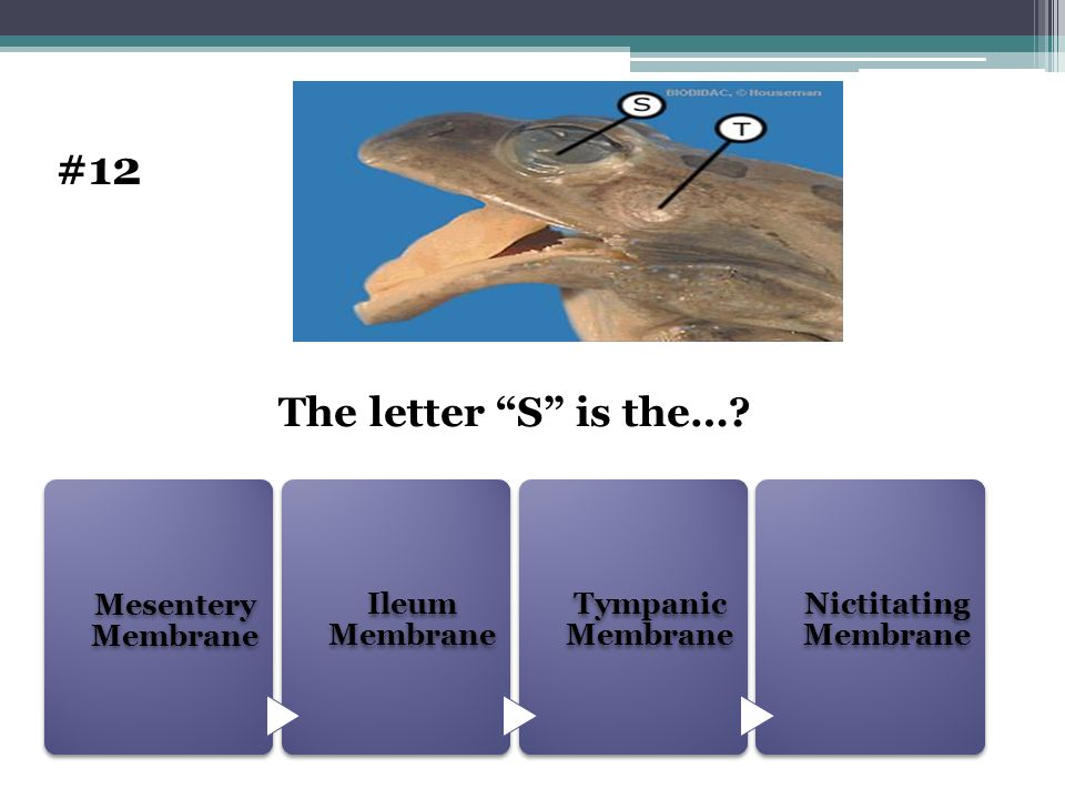 Mesentery Membrane Ileum Membrane Tympanic Membrane Nictitating Membrane The letter S is the…? #12