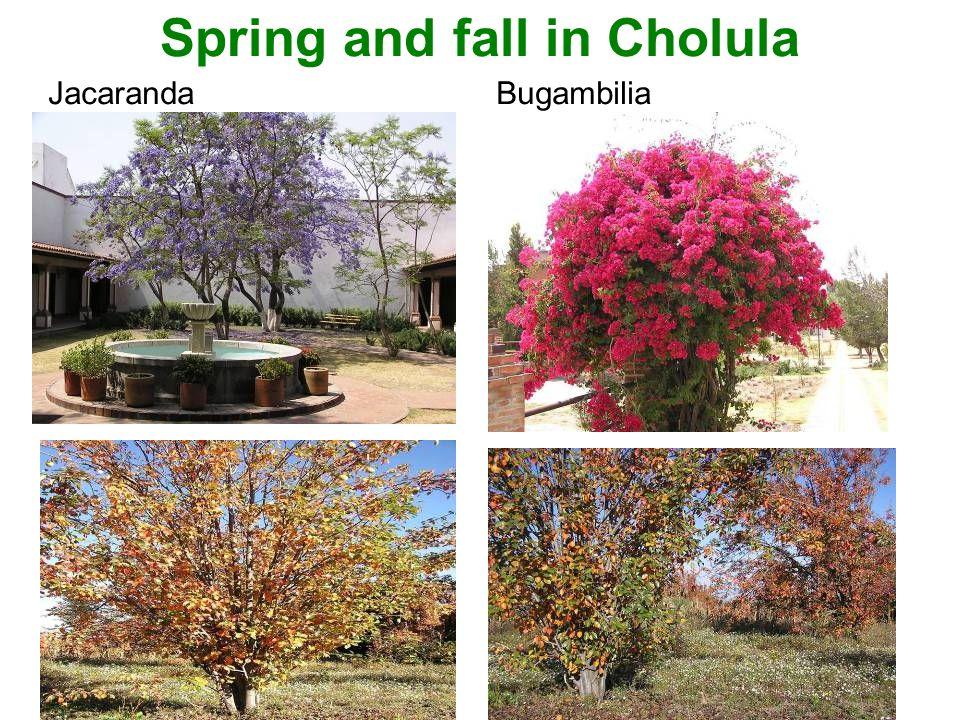 Spring and fall in Cholula JacarandaBugambilia