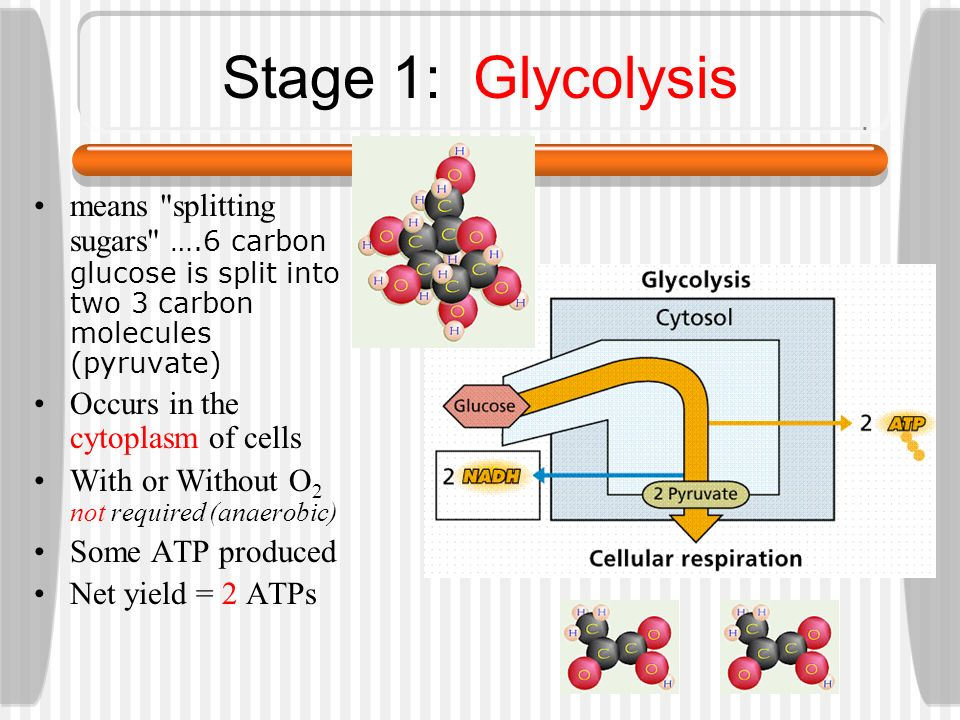 What are the steps of cellular respiration?