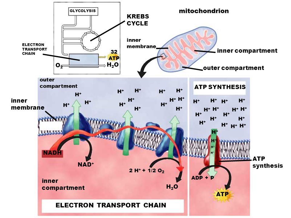 Electron Transport Chain series of electron carriers in the membrane of the mitochondria Occurs in the inner membrane of mitochondria O 2 required (ae