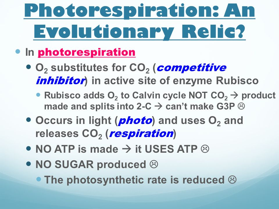 Photorespiration: An Evolutionary Relic? In photorespiration O 2 substitutes for CO 2 ( competitive inhibitor ) in active site of enzyme Rubisco Rubis