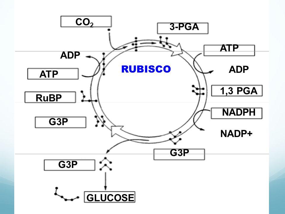 CO 2 3-PGA RUBISCO ATP ADP 1,3 PGA NADPH NADP+ G3P GLUCOSE RuBP ATP ADP
