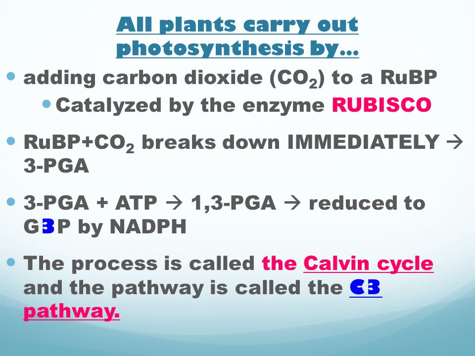 All plants carry out photosynthesis by… adding carbon dioxide (CO 2 ) to a RuBP Catalyzed by the enzyme RUBISCO RuBP+CO 2 breaks down IMMEDIATELY 3-PG