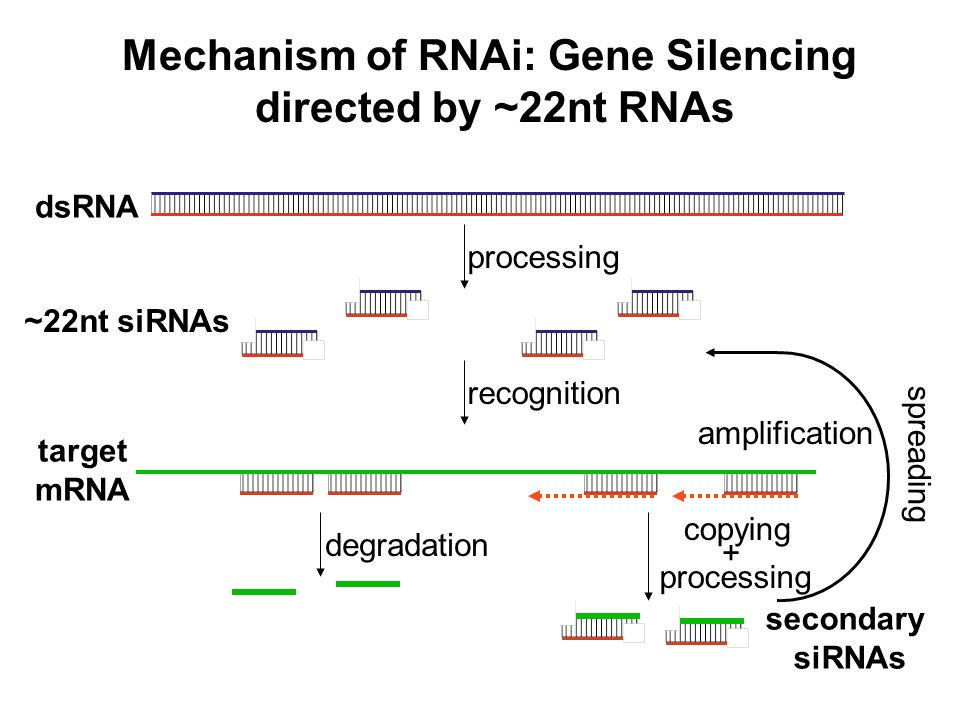 Mechanism of RNAi: Gene Silencing directed by ~22nt RNAs dsRNA ~22nt siRNAs target mRNA secondary siRNAs amplification processing degradation recognit