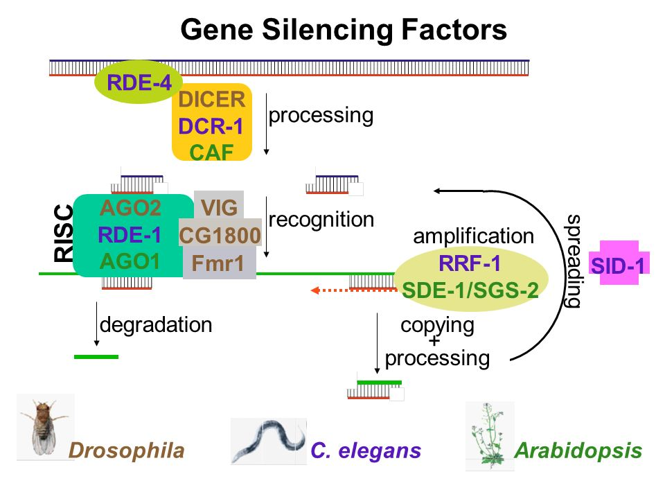 Gene Silencing Factors C. elegans Drosophila Arabidopsis amplification processing degradation recognition copying + processing spreading DICER DCR-1 C