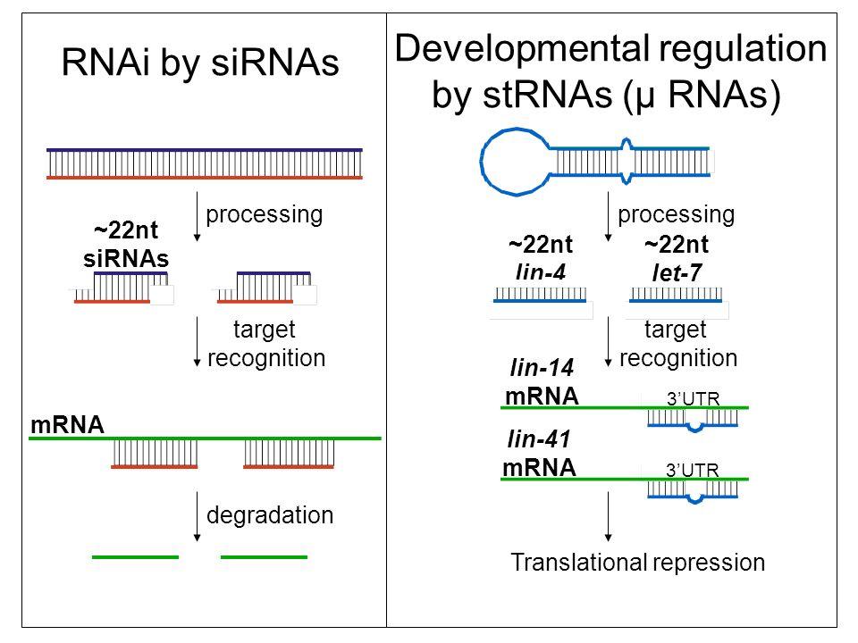 RNAi by siRNAs Developmental regulation by stRNAs (µ RNAs) processing ~22nt siRNAs ~22nt lin-4 processing target recognition target recognition mRNA lin-14 mRNA lin-41 mRNA 3UTR degradation ~22nt let-7 Translational repression