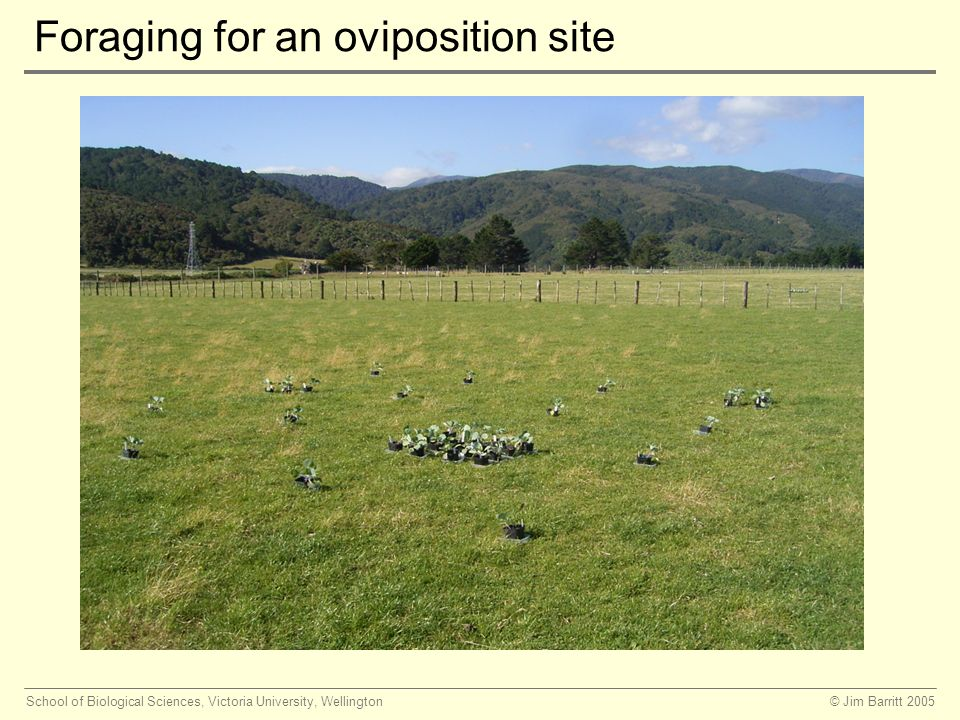 © Jim Barritt 2005School of Biological Sciences, Victoria University, Wellington Foraging for an oviposition site