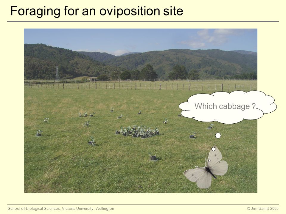 © Jim Barritt 2005School of Biological Sciences, Victoria University, Wellington Foraging for an oviposition site Which cabbage ?
