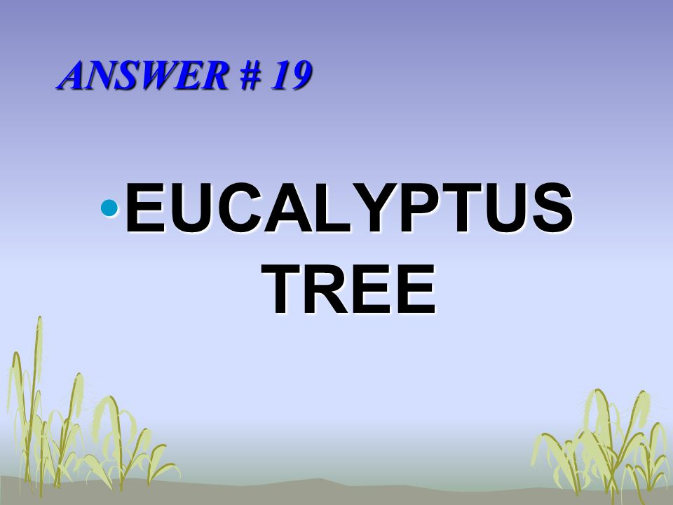 ANSWER # 19 EUCALYPTUS TREEEUCALYPTUS TREE