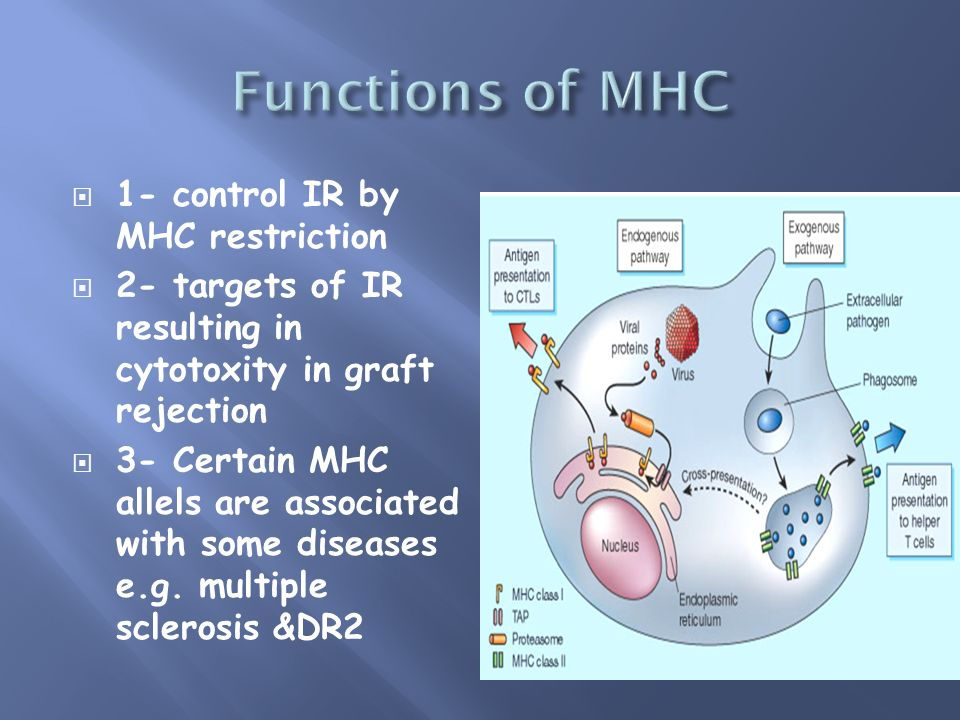 1- control IR by MHC restriction 2- targets of IR resulting in cytotoxity in graft rejection 3- Certain MHC allels are associated with some diseases e