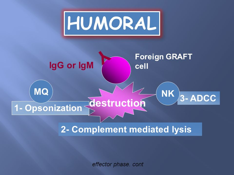 IgG or IgM Foreign GRAFT cell Y 1- Opsonization 2- Complement mediated lysis 3- ADCC destruction MQ NK HUMORAL effector phase. cont