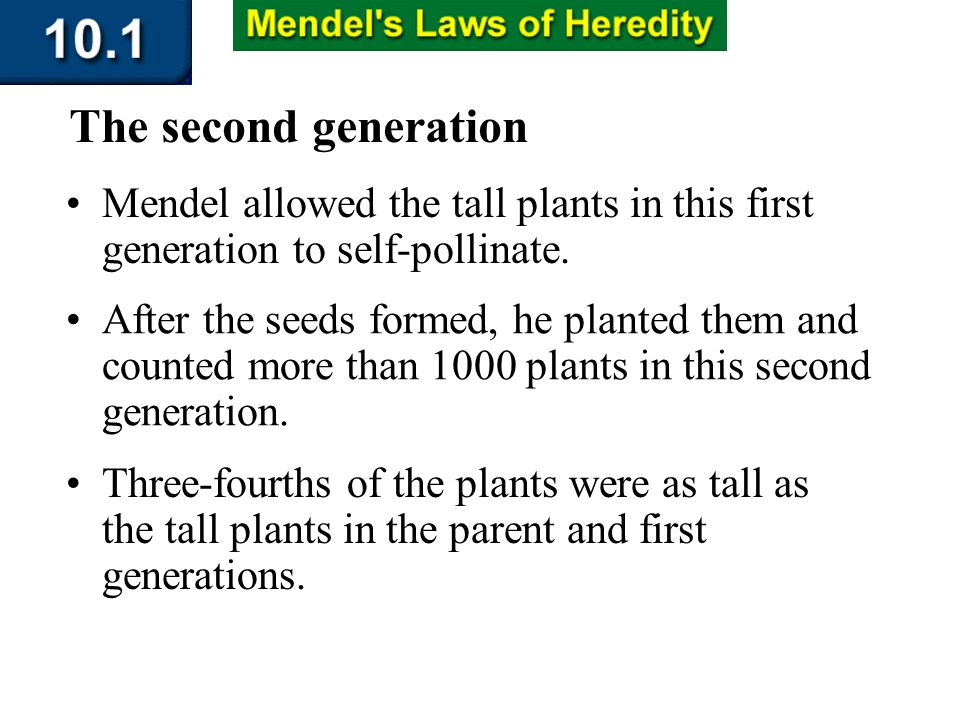 Section 10.1 Summary – pages 253-262 Mendel allowed the tall plants in this first generation to self-pollinate. The second generation After the seeds