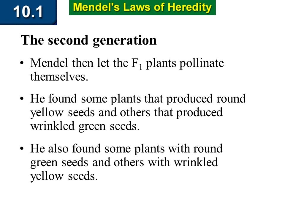 Section 10.1 Summary – pages 253-262 Mendel then let the F 1 plants pollinate themselves. The second generation He found some plants that produced rou