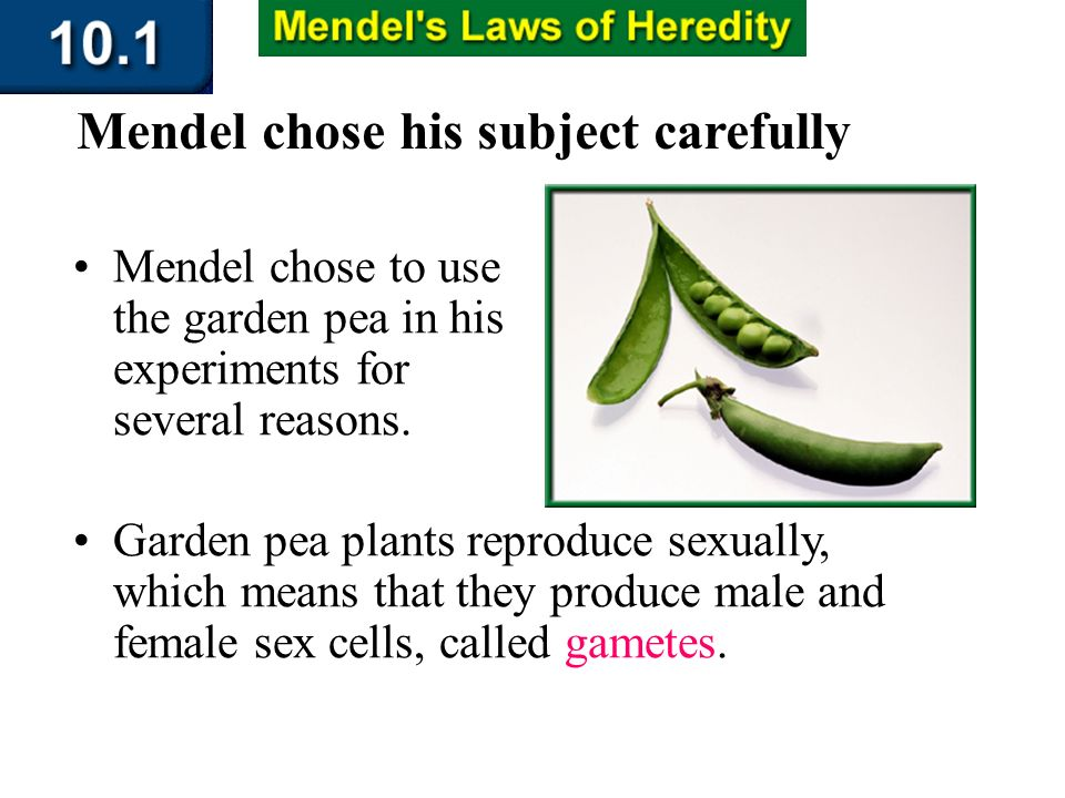 Section 10.1 Summary – pages 253-262 Mendel chose to use the garden pea in his experiments for several reasons. Garden pea plants reproduce sexually,