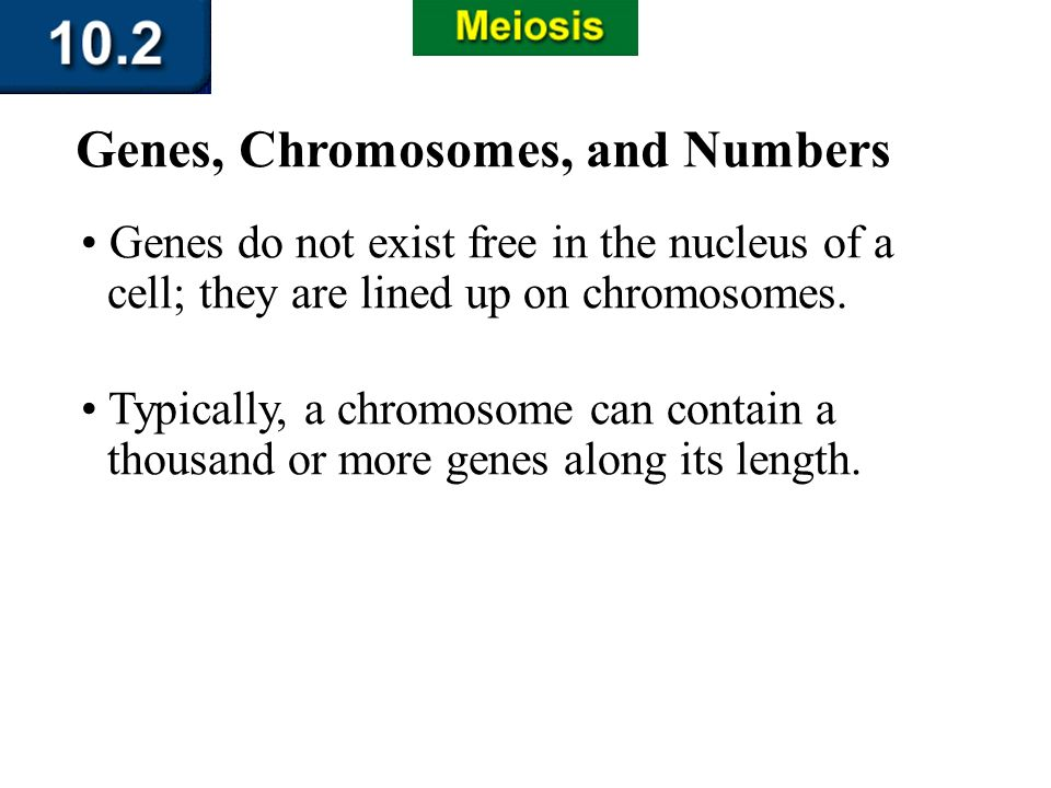 Section 10.2 Summary – pages 263-273 Genes do not exist free in the nucleus of a cell; they are lined up on chromosomes. Genes, Chromosomes, and Numbe