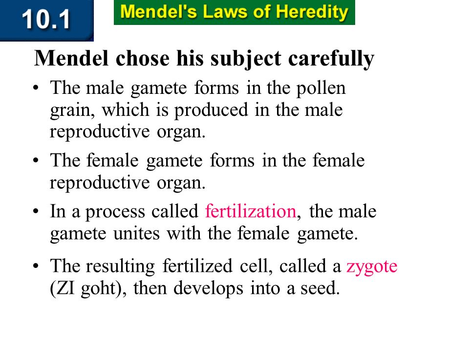 Section 10.1 Summary – pages 253-262 The female gamete forms in the female reproductive organ. Mendel chose his subject carefully In a process called