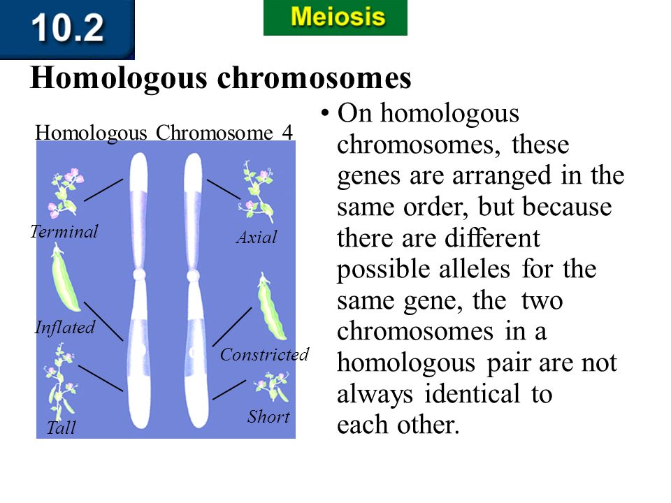 Section 10.2 Summary – pages 263-273 On homologous chromosomes, these genes are arranged in the same order, but because there are different possible a