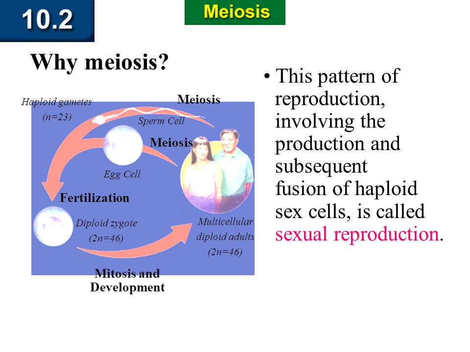 Section 10.2 Summary – pages 263-273 This pattern of reproduction, involving the production and subsequent fusion of haploid sex cells, is called sexu