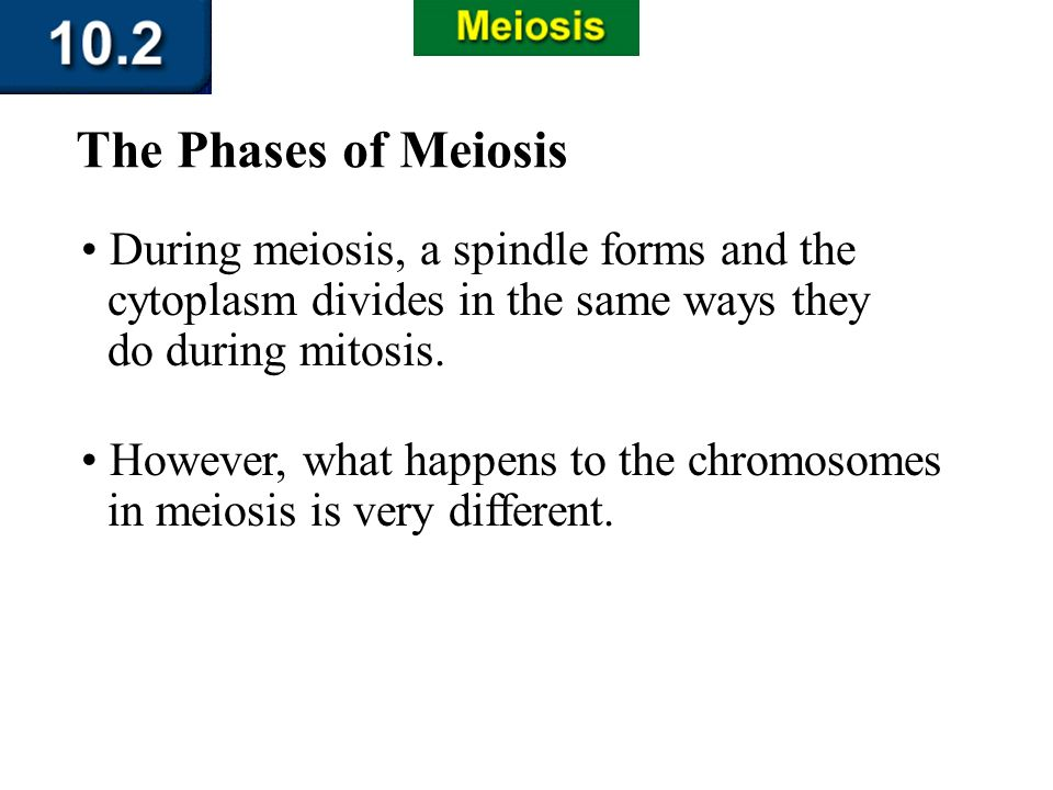 Section 10.2 Summary – pages 263-273 During meiosis, a spindle forms and the cytoplasm divides in the same ways they do during mitosis. The Phases of