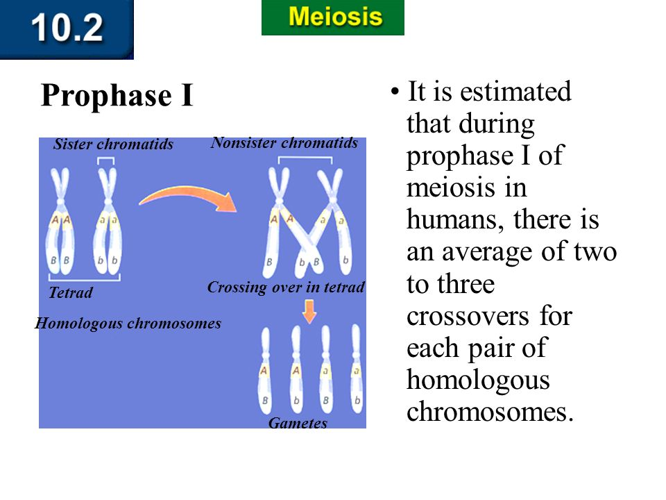 Section 10.2 Summary – pages 263-273 It is estimated that during prophase I of meiosis in humans, there is an average of two to three crossovers for e