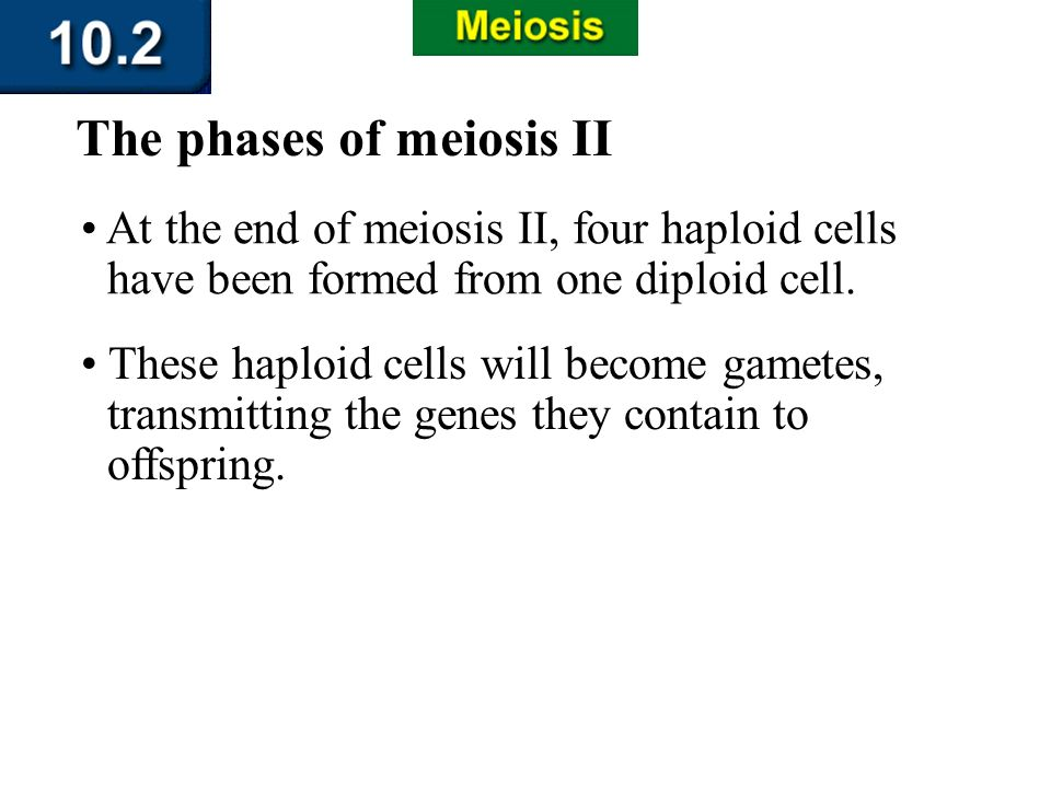 Section 10.2 Summary – pages 263-273 At the end of meiosis II, four haploid cells have been formed from one diploid cell. These haploid cells will bec