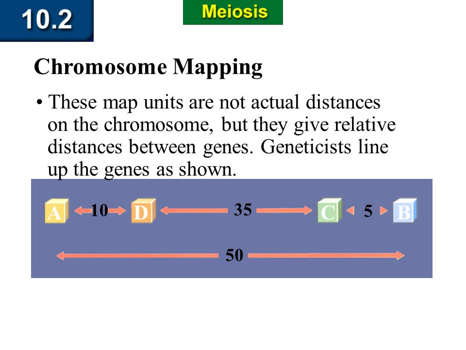 AD 10 35 C 5 B 50 Section 10.2 Summary – pages 263-273 Chromosome Mapping These map units are not actual distances on the chromosome, but they give re