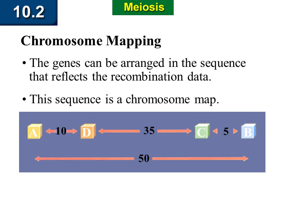 AD 10 35 C 5 B 50 Section 10.2 Summary – pages 263-273 Chromosome Mapping The genes can be arranged in the sequence that reflects the recombination da