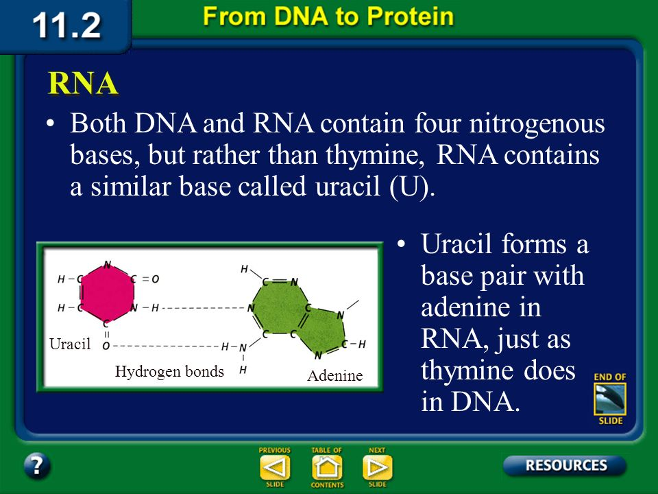 Section 11.2 Summary – pages 288 - 295 The sugar in RNA is ribose; DNAs sugar is deoxyribose.