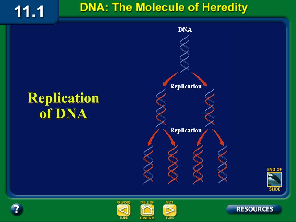 Section 11.1 Summary – pages 281 - 287 Replication of DNA Before a cell can divide by mitosis or meiosis, it must first make a copy of its chromosomes