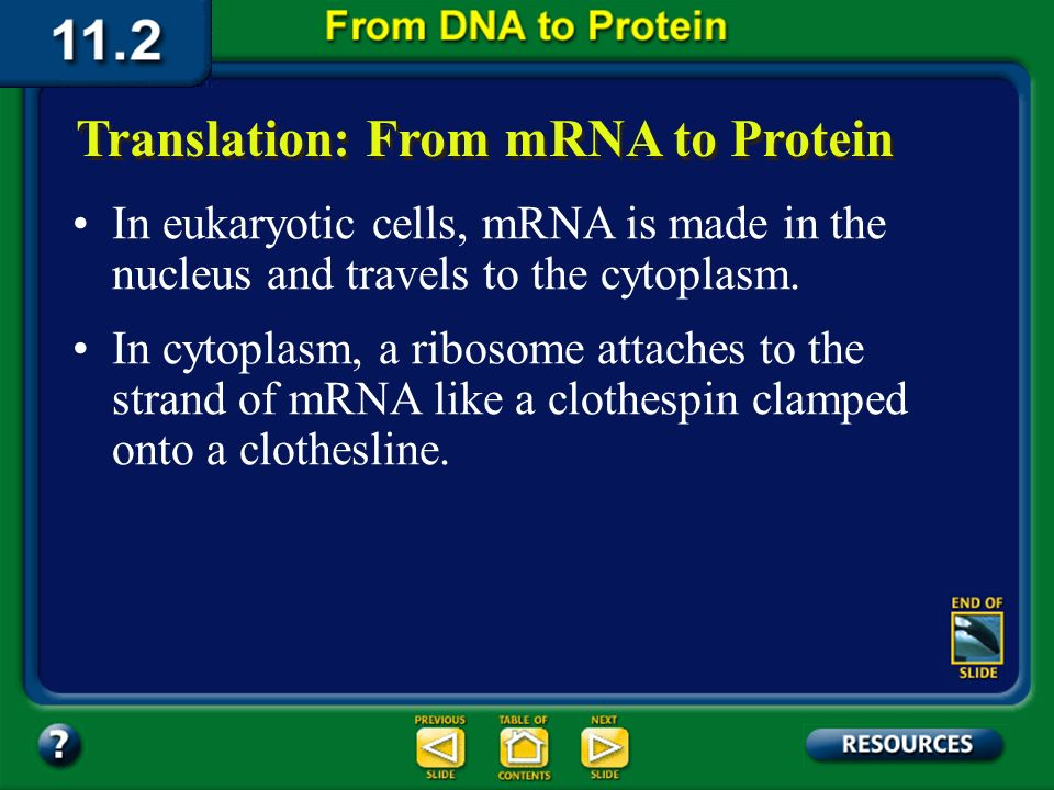 Section 11.2 Summary – pages 288 - 295 Translation: From mRNA to Protein The process of converting the information in a sequence of nitrogenous bases in mRNA into a sequence of amino acids in protein is known as translation.