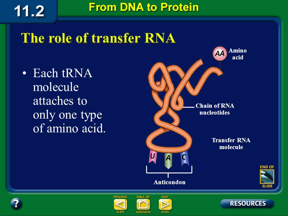 Section 11.2 Summary – pages 288 - 295 For proteins to be built, the 20 different amino acids dissolved in the cytoplasm must be brought to the riboso
