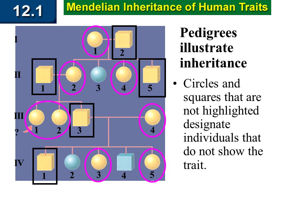 Section 12.1 Summary – pages 309 - 314 Pedigrees illustrate inheritance Circles and squares that are not highlighted designate individuals that do not