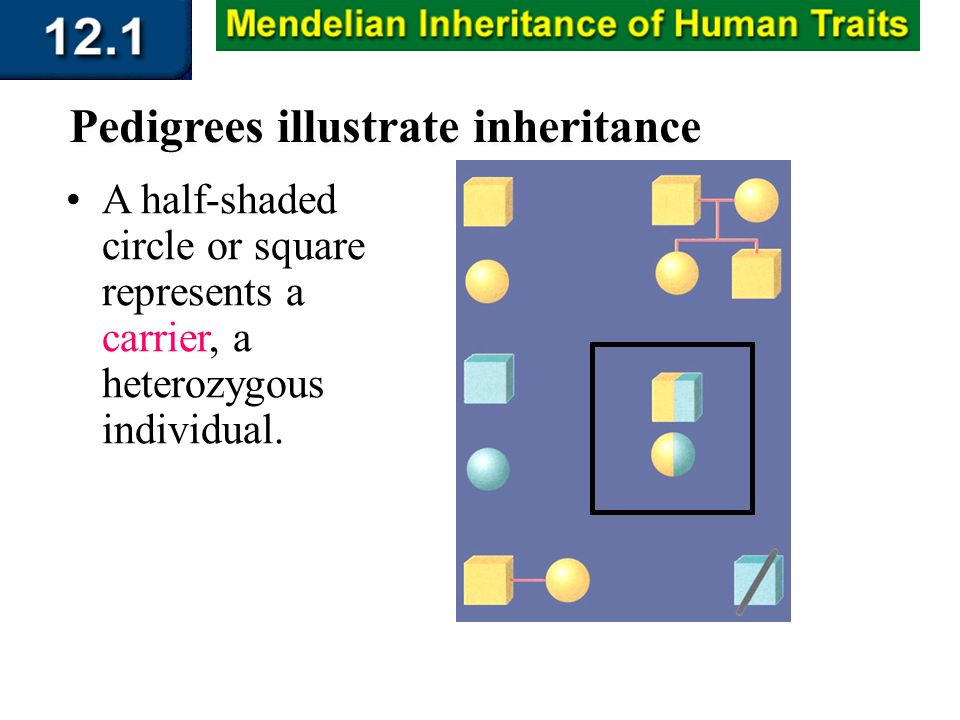 Section 12.1 Summary – pages 309 - 314 A half-shaded circle or square represents a carrier, a heterozygous individual. Pedigrees illustrate inheritanc