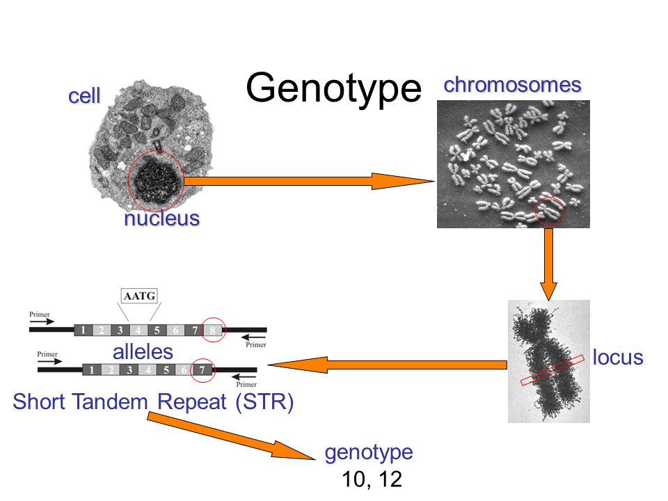 cell nucleus chromosomes locus Short Tandem Repeat (STR) genotype 10, 12 alleles Genotype