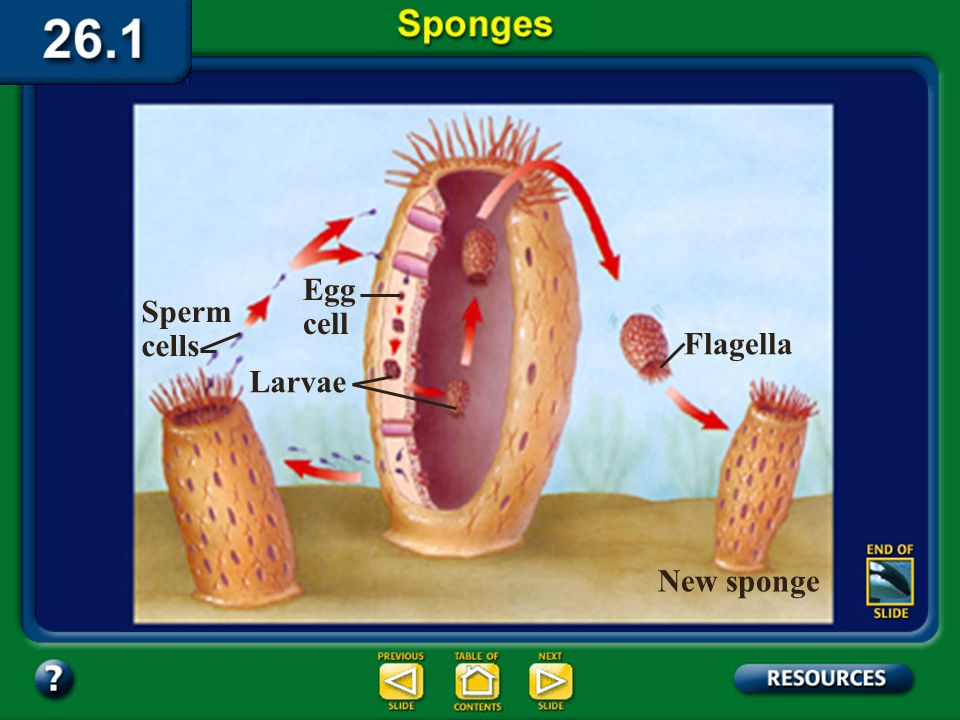 Section 26.1 Summary – pages 693-697 Reproduction in sponges Fertilization in sponges may be either external or internal. A few sponges have external