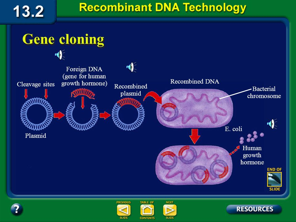 Section 13.2 Summary – pages 341 - 348 Gene cloning Each time the host cell divides it copies the recombinant DNA along with its own. The host cell ca