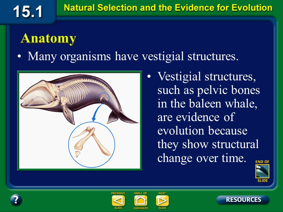 Section 15.1 Summary – pages 393-403 Another type of body feature that suggests an evolutionary relationship is a vestigial structurea body structure in a present-day organism that no longer serves its original purpose, but was probably useful to an ancestor.