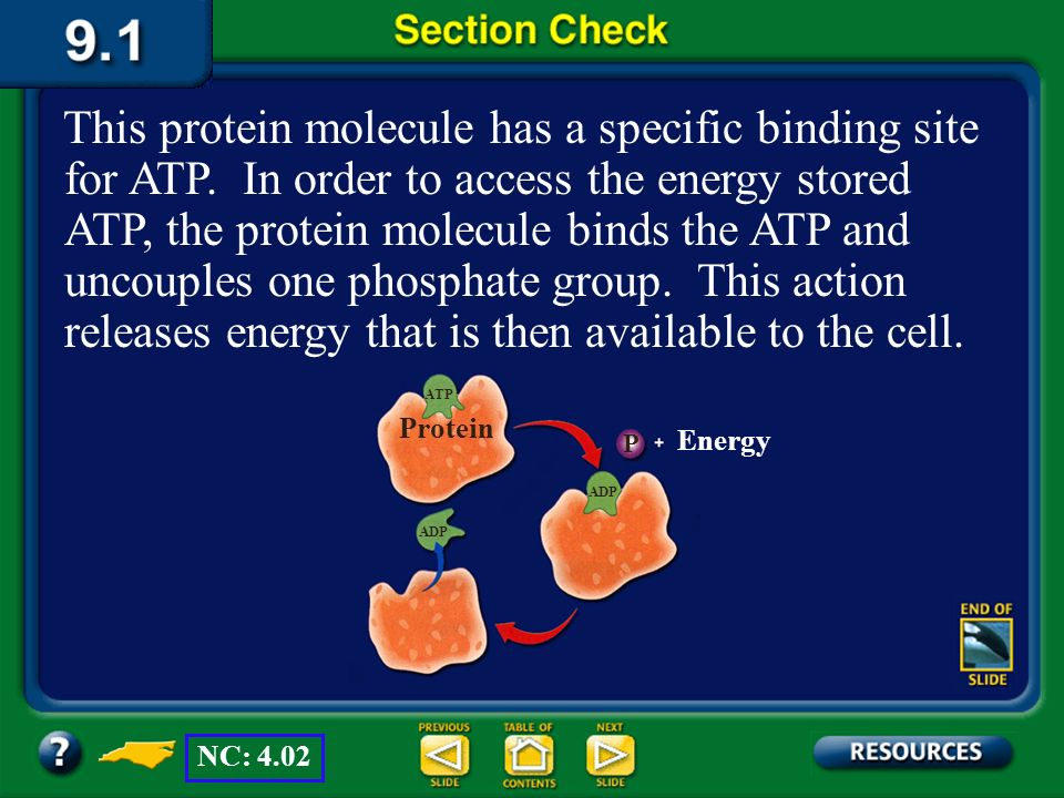 Section 1 Check Question 4 What is the function of the protein molecule shown in this diagram? ATP ADP Protein P Energy NC: 4.02