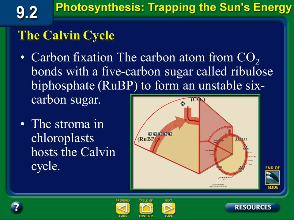 Section 9.2 Summary – pages 225-230 (CO2) The Calvin Cycle (CO 2 ) (Unstable intermediate) ATP ADP + (Sugars and other carbohydrates) NADPH NADP + (PG